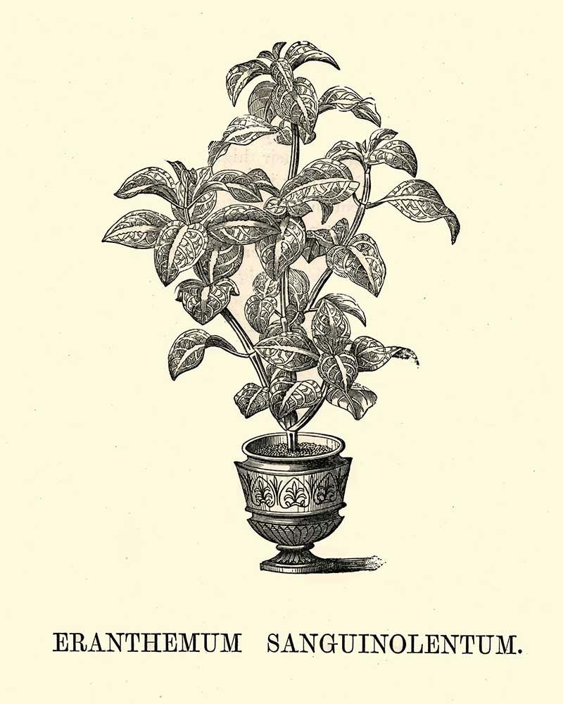 Eranthemum Sanguinolentum potted indoor pant