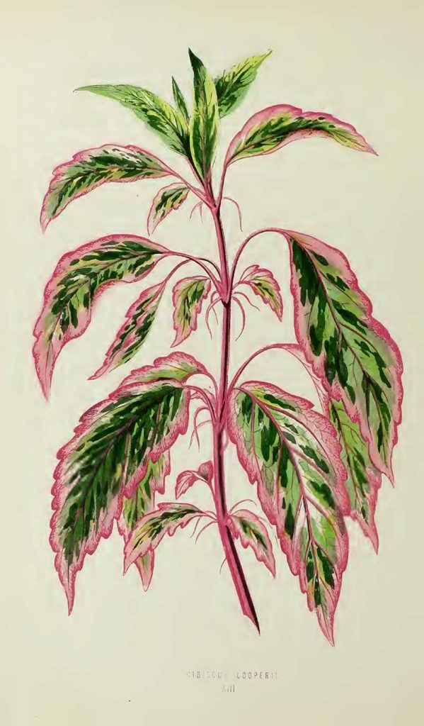 House plants drawing Hibiscus