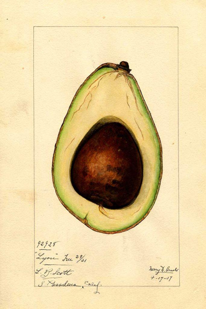 Cross section of lyon avocado