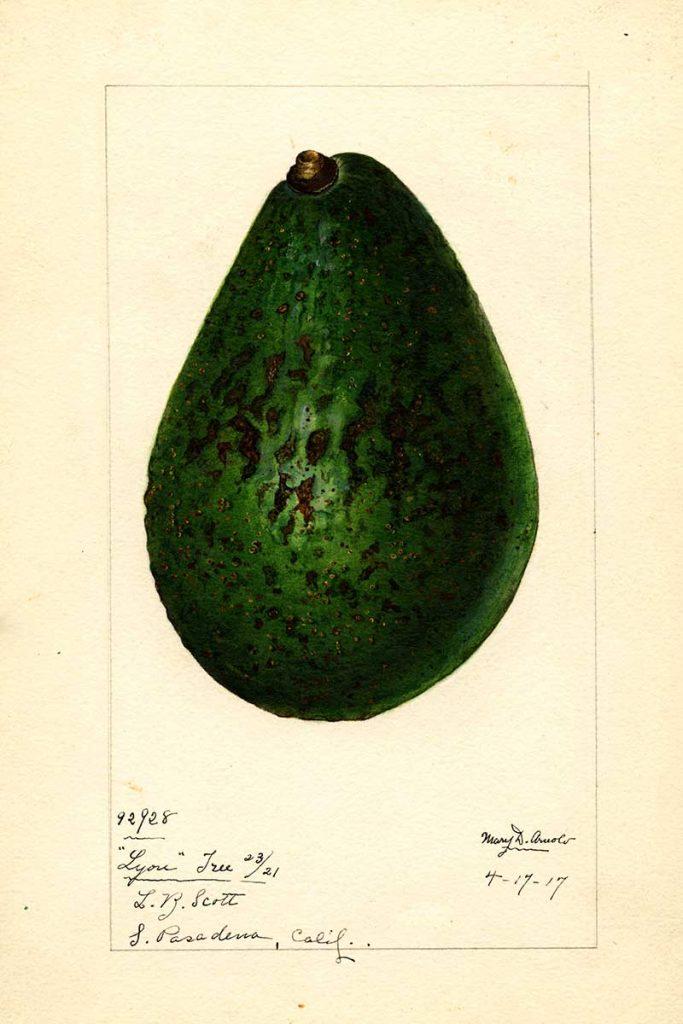 Lyon Avocado