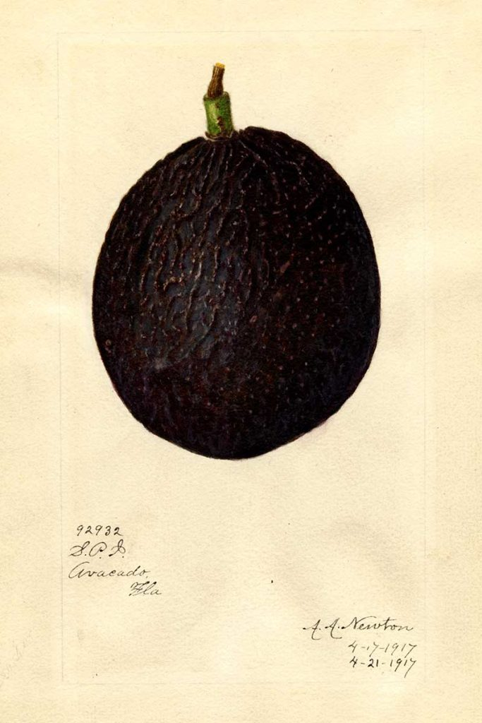 Macdonald Avocado