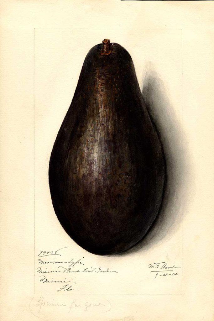 Mexican type avocado