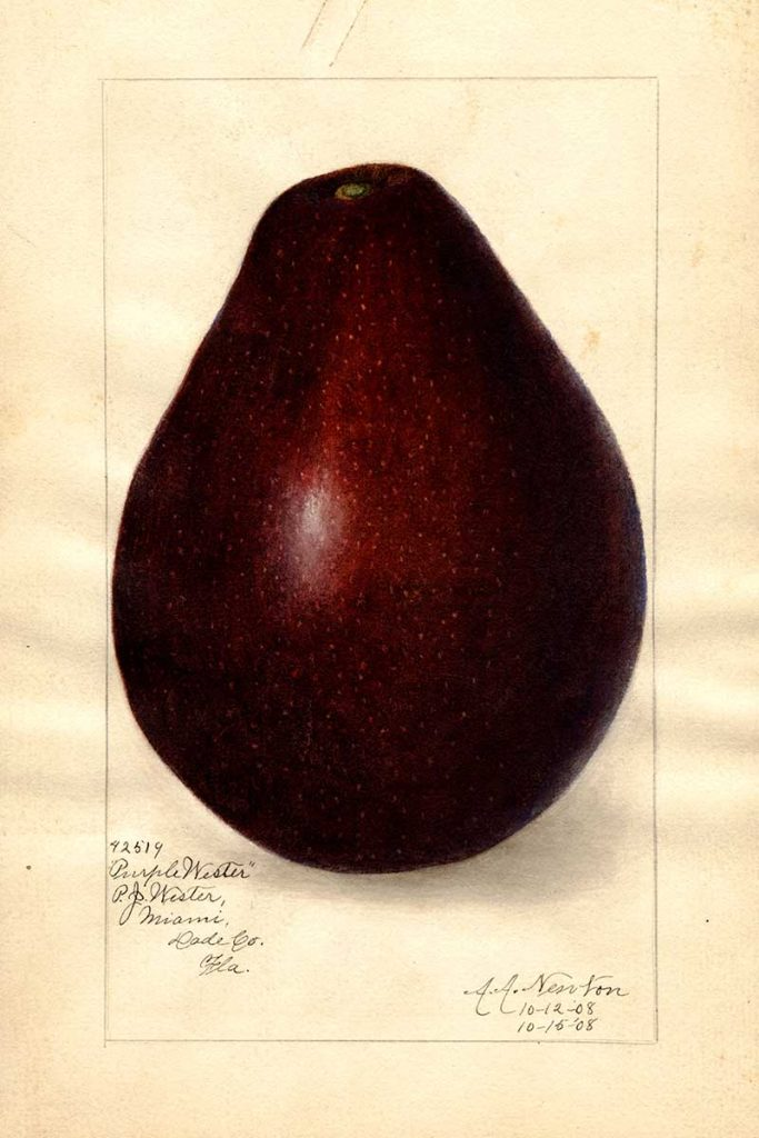 avocado drawings purple wester