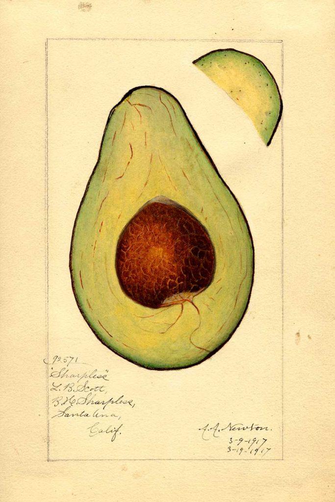 Sharpless Avocado cross-section