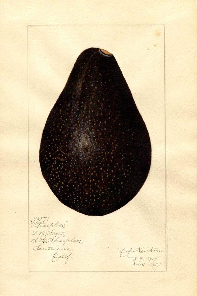 Sharpless variety of avocado