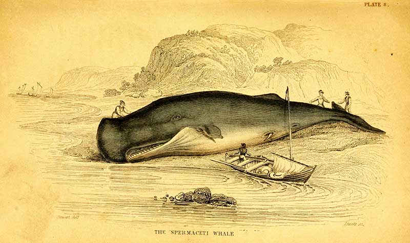 Vintage whale drawings sperm whale