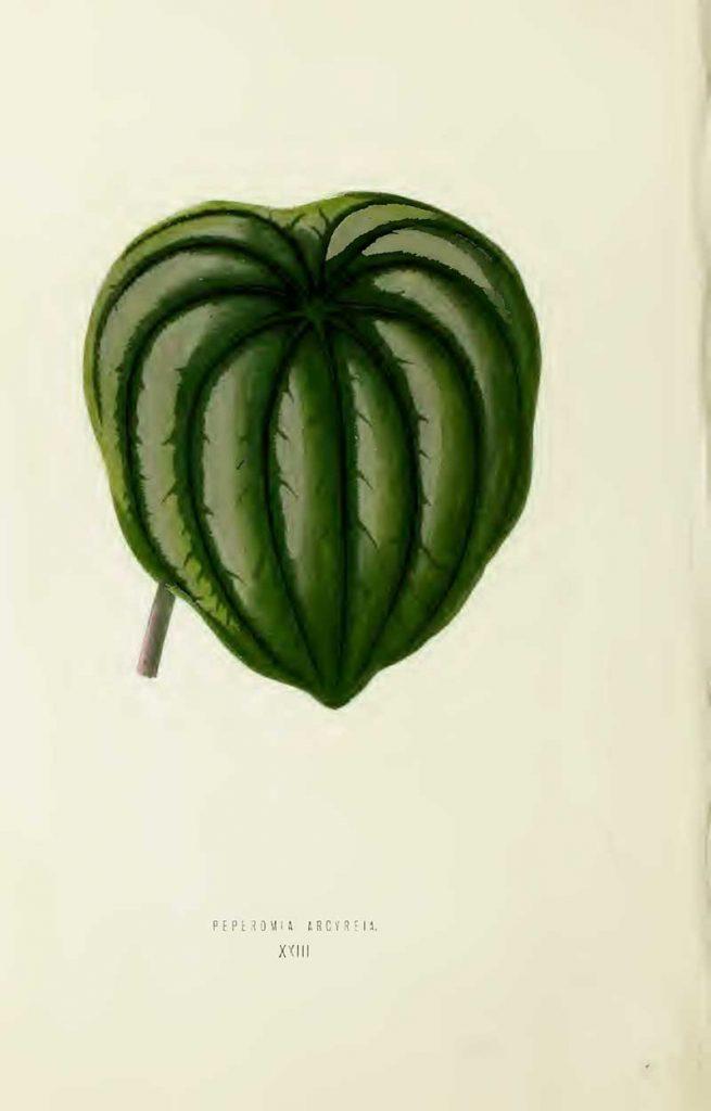 Indoor tropical plant leaf