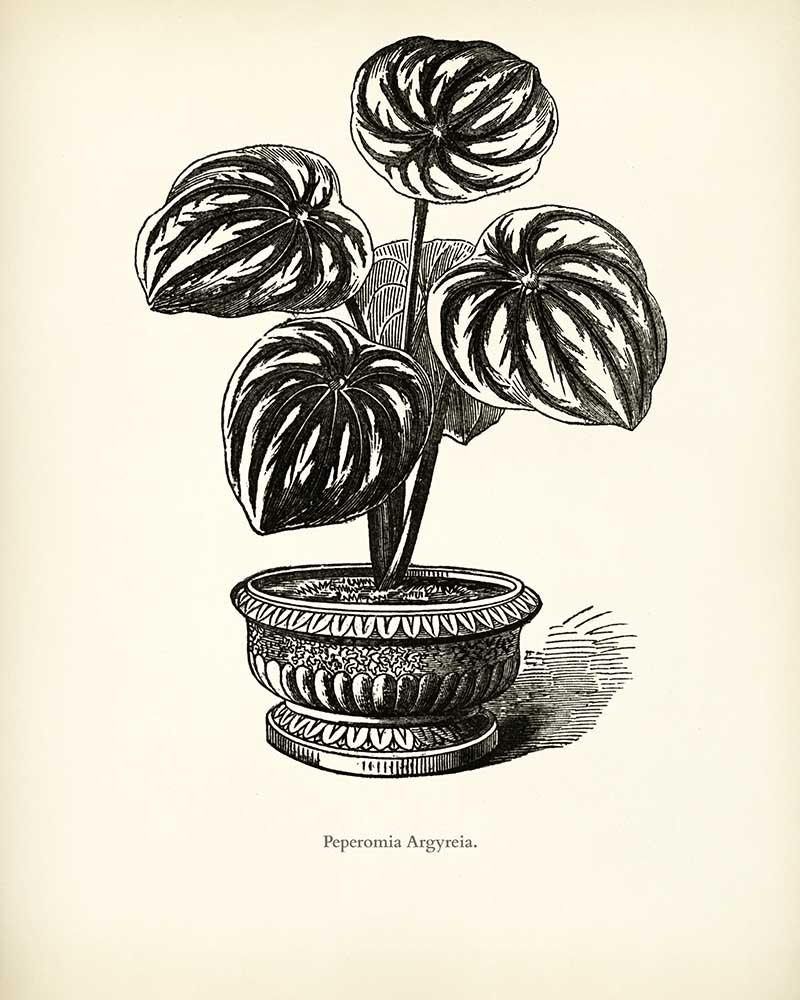 Watermelon Begonia
