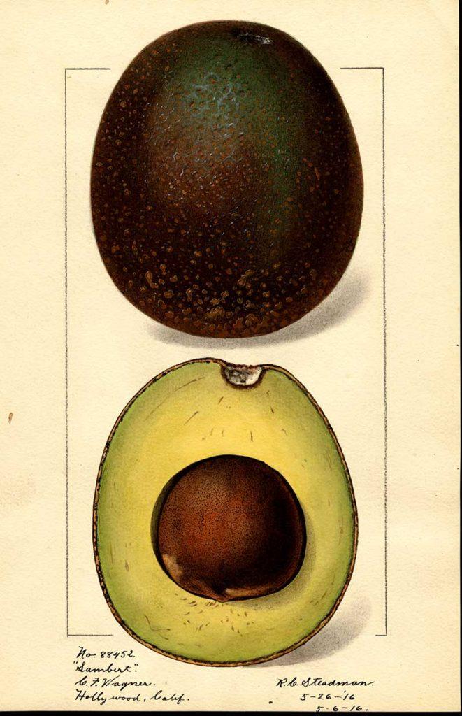 Sambert variety of Avocado watercolor