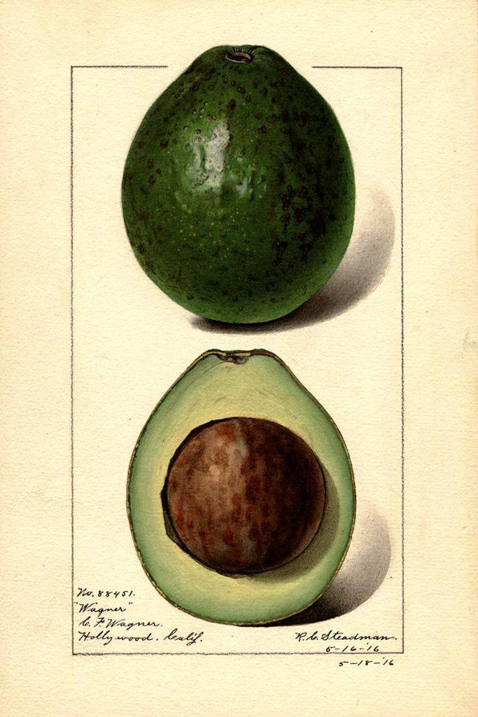 Wagner avocado watercolor