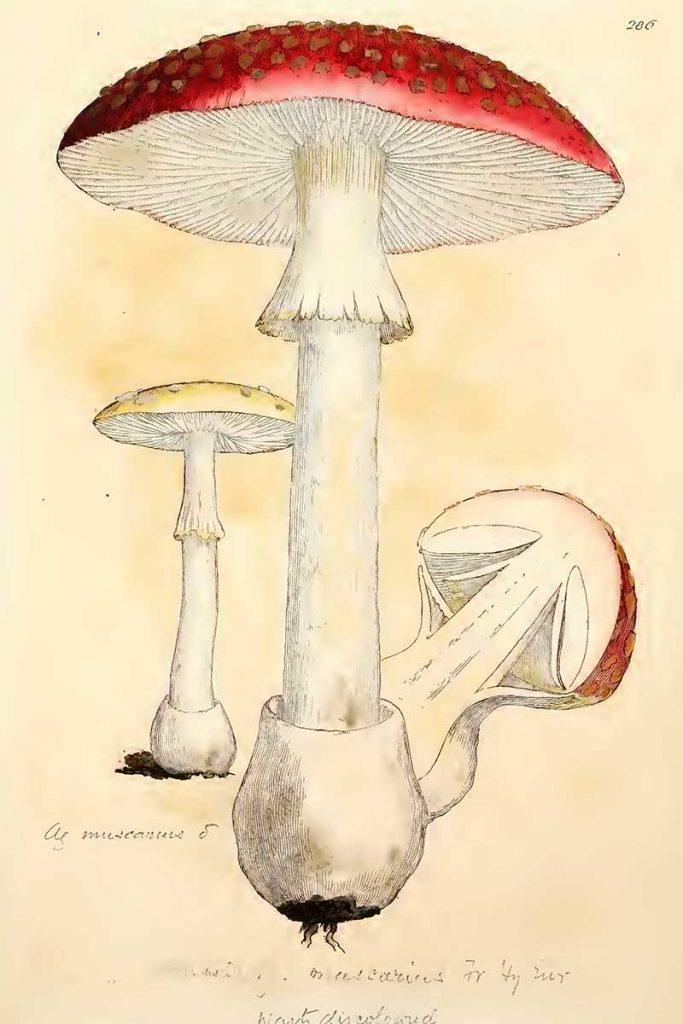 Amania Muscaria
