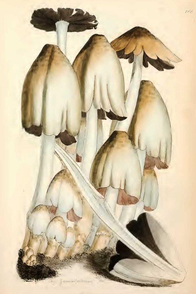 Coprinopsis atramentaria mushroom drawings