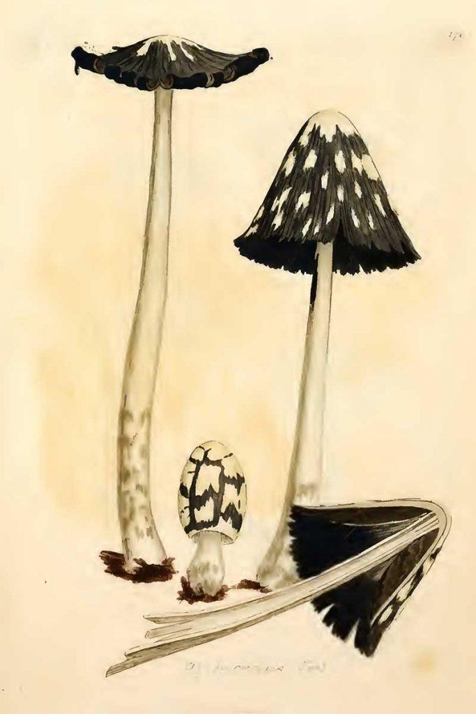 Coprinopsis picacea fungi drawings