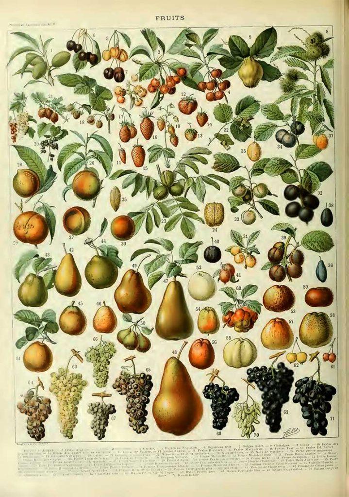 Vintage fruit poster Adolphe Millot