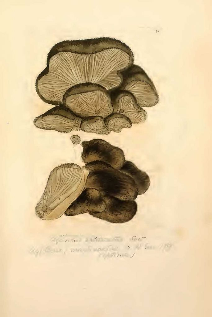 Hohenbuehelia mastrucata fungi drawing