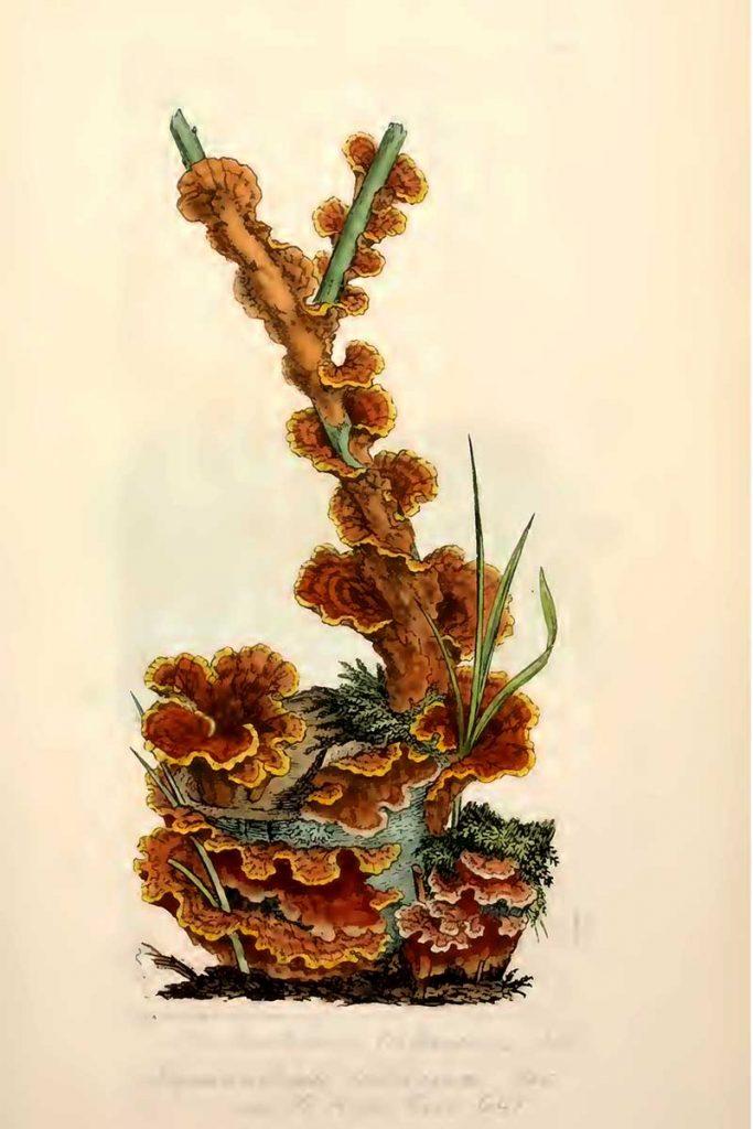 Hydnoporia tabacina