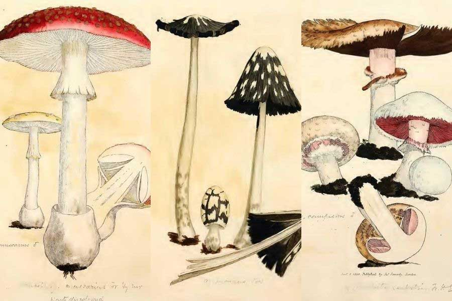 mushroom and fungi drawings