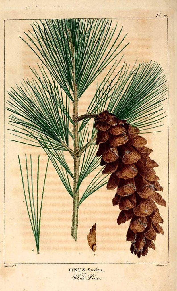 Pinus Strobus pine cone drawings