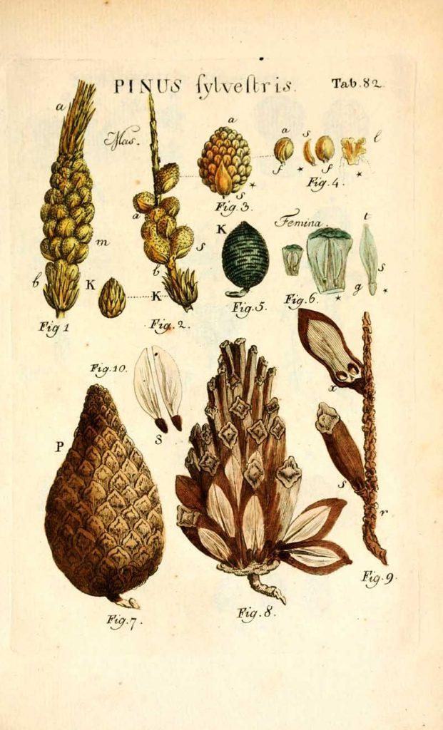 Pinus Sylvestis botanical pine cone illustrations
