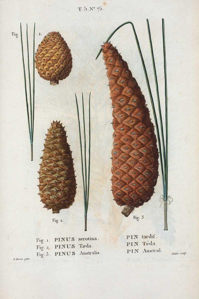 Pinus Serotina plus other pine cone illustrations