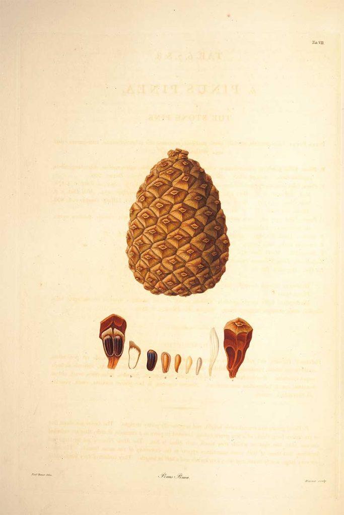 Stone pinecone drawings