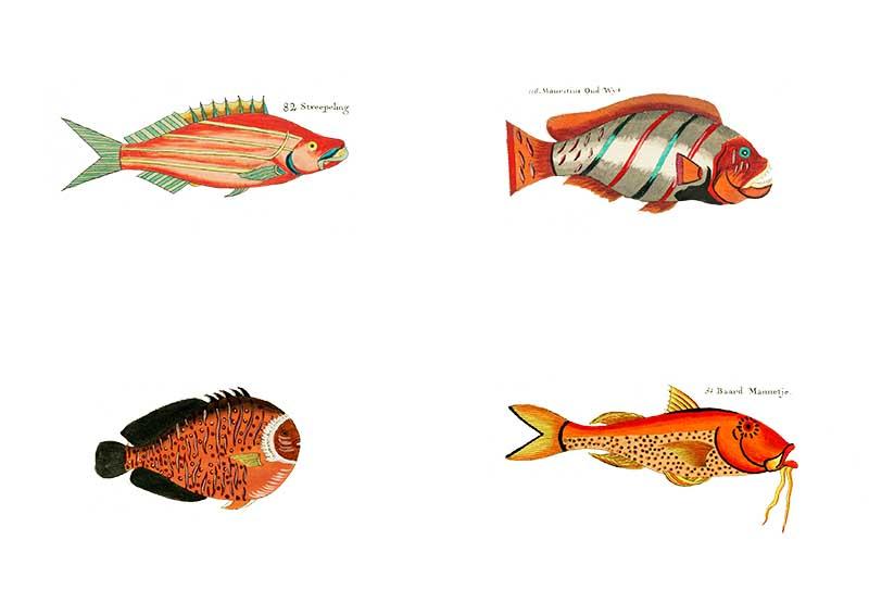 Orange Louis Renard Fish for rainbow fish display