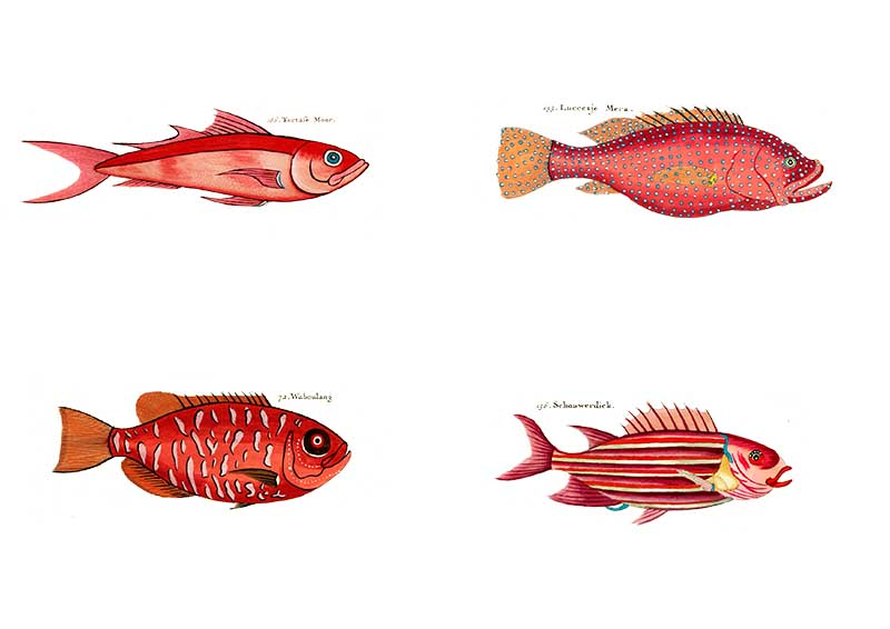 Louis Renard fish red for rainbow fish display