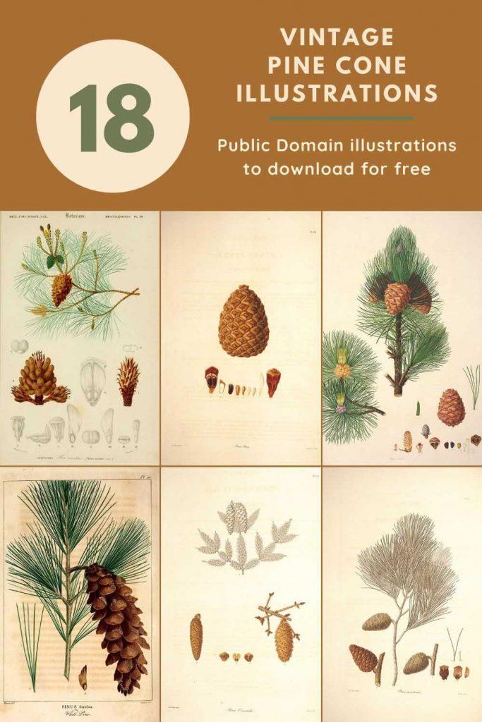 vintage pine cone illustrations