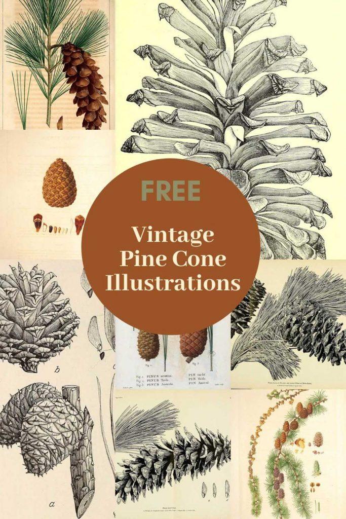 vintage pine cone drawings