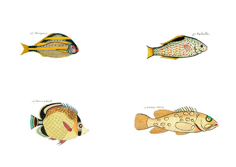 Louis Renard Yellow rainbow fish pictures