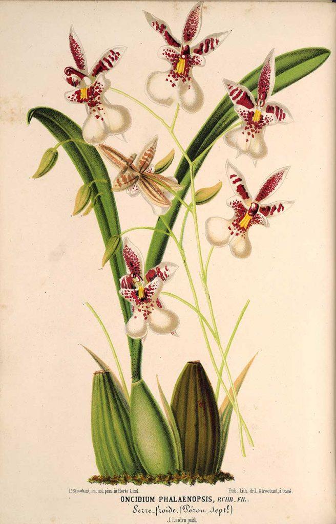 Caucaea Phalaenopsis - Vintage orchid prints