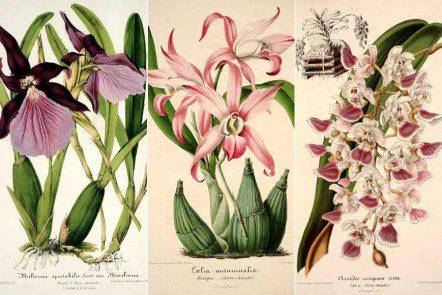 free vintage orchid prints
