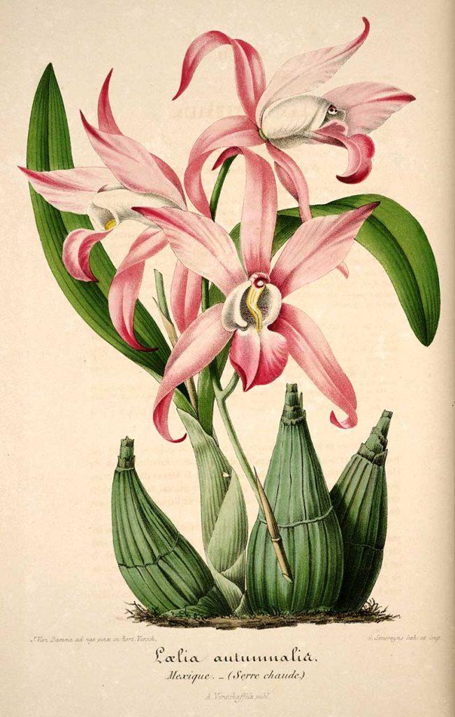 Autumn flowering orchid