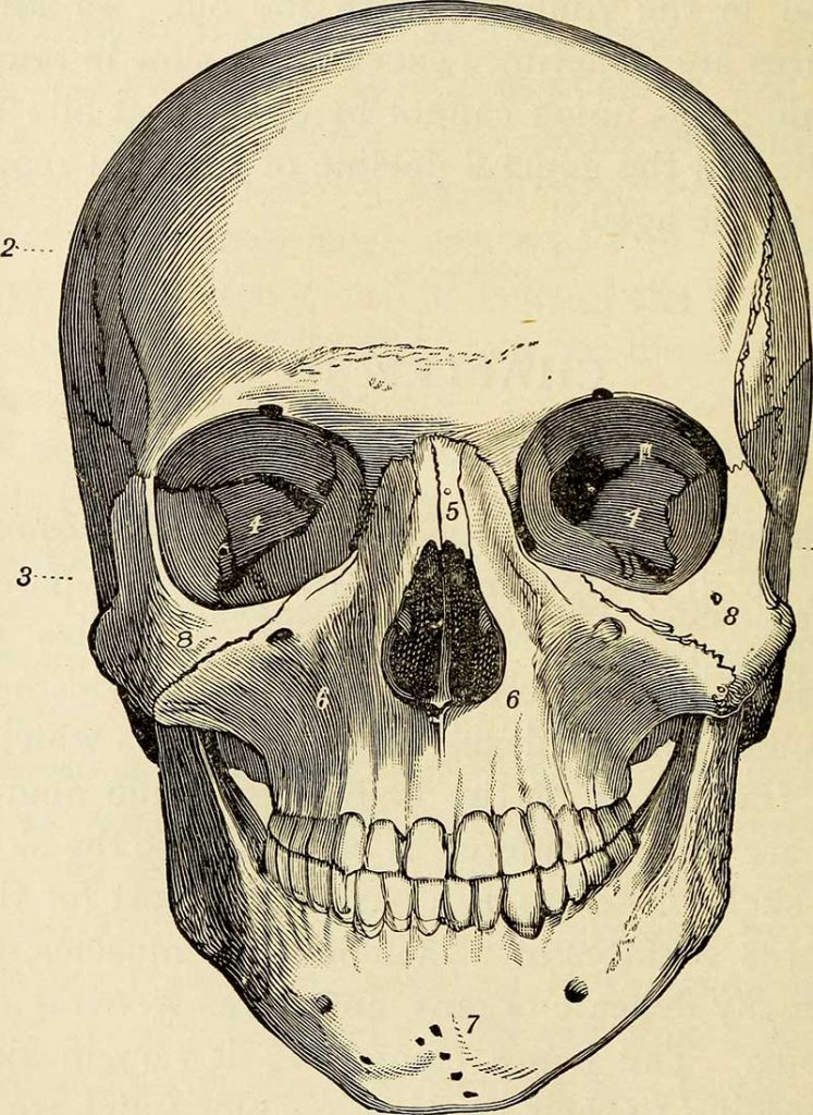 Front View Skull