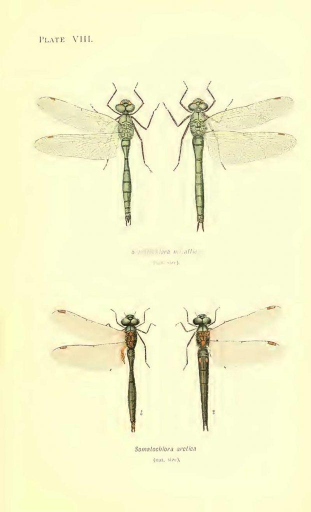 Striped emerald dragonflies