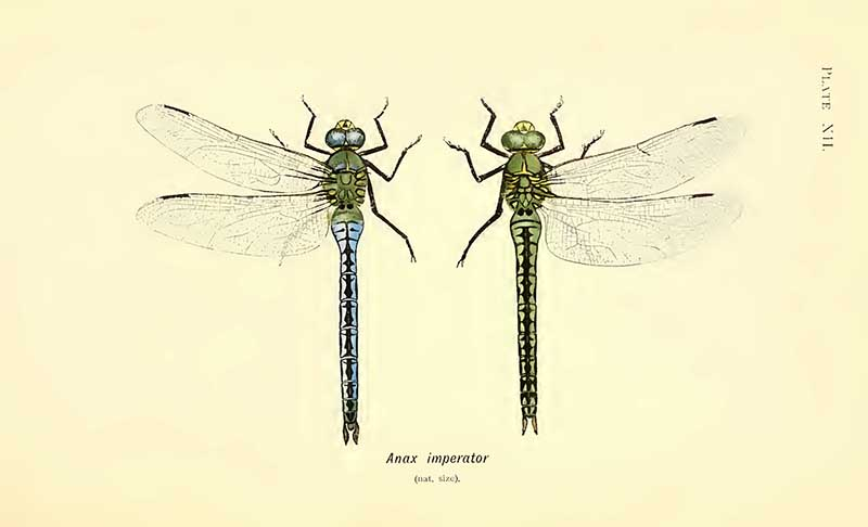 Emperor dragonfly drawing