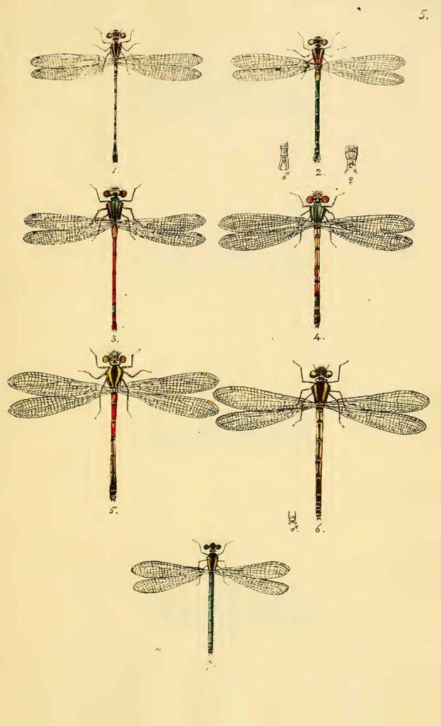 British Dragonfly drawings