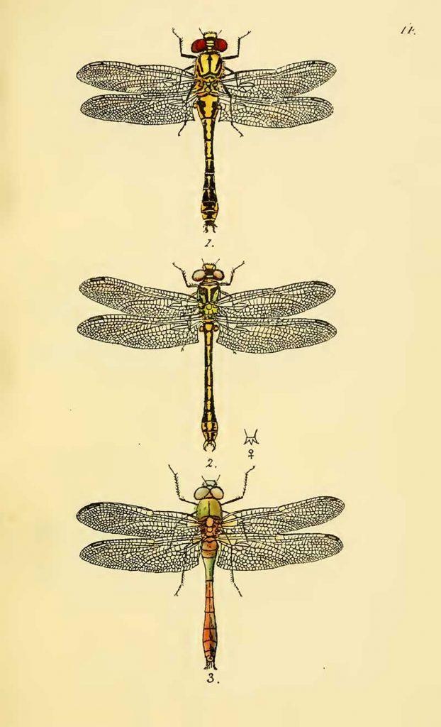 club tail dragon fly drawings