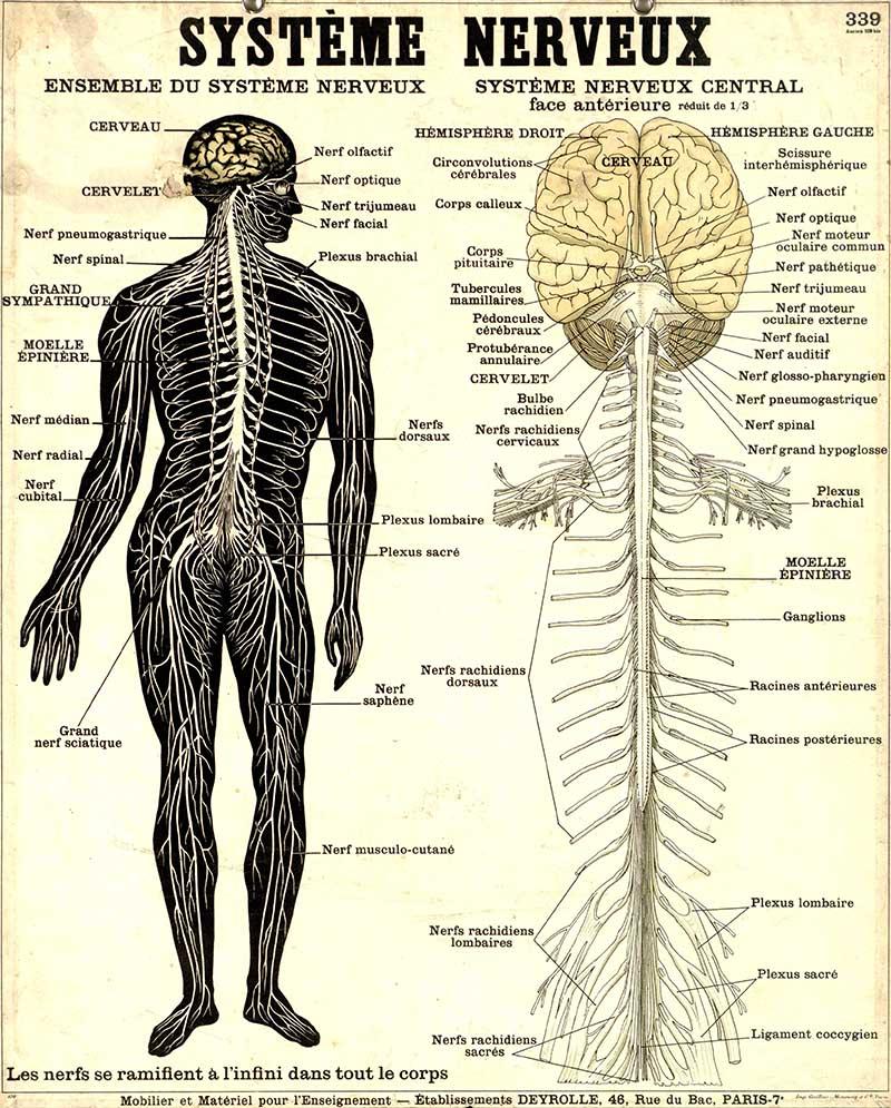 Human Nervous system poster Deyrolle