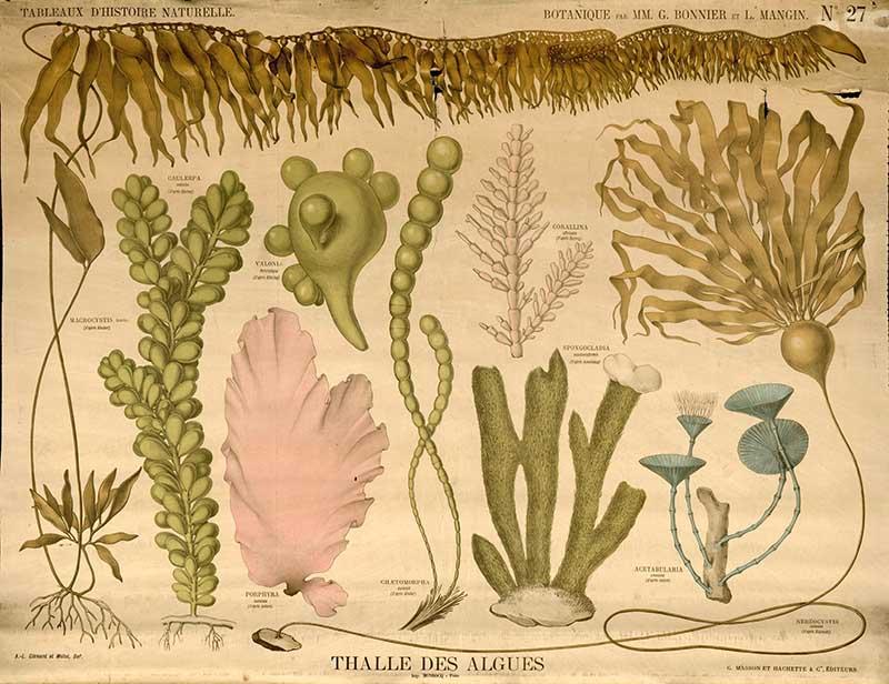 seaweed Deyrolle