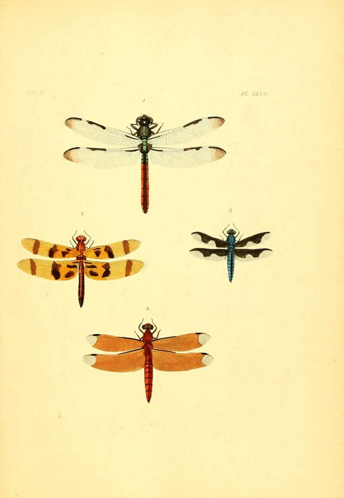 Dragonfly poster six
