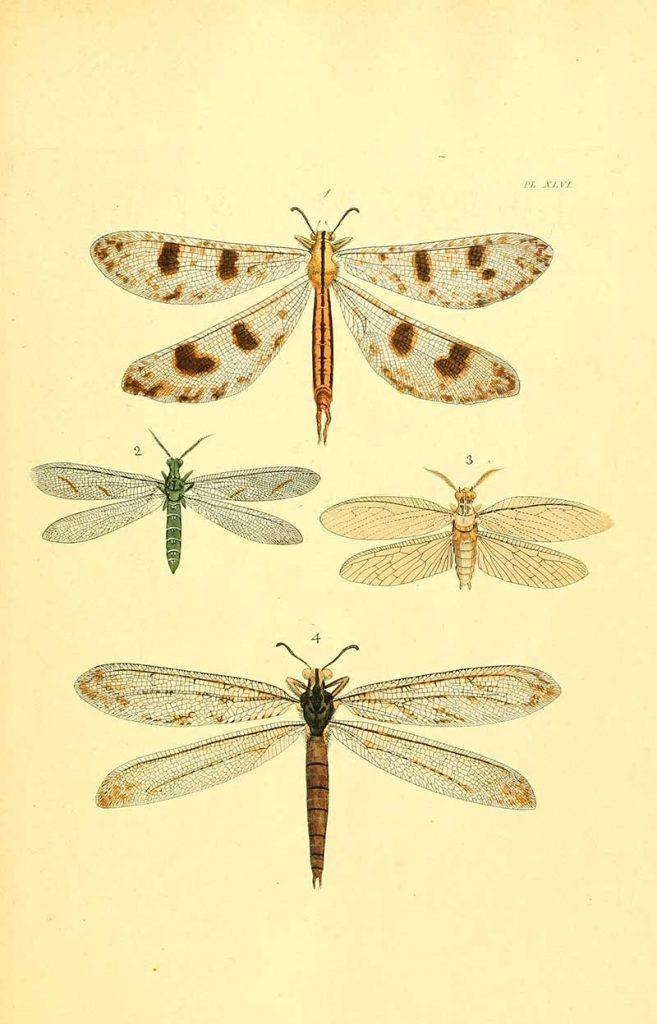 Exotic dragonflies