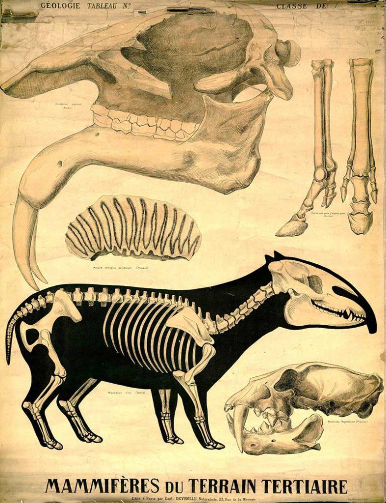 fossil skelton