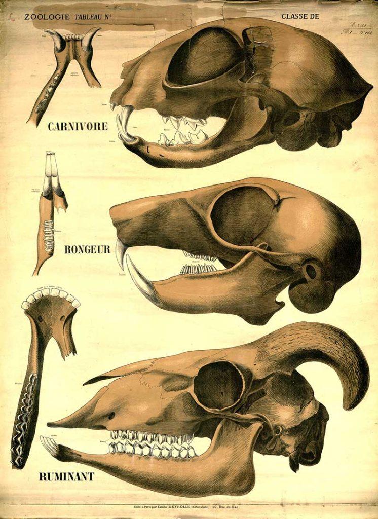 mammal skulls poster