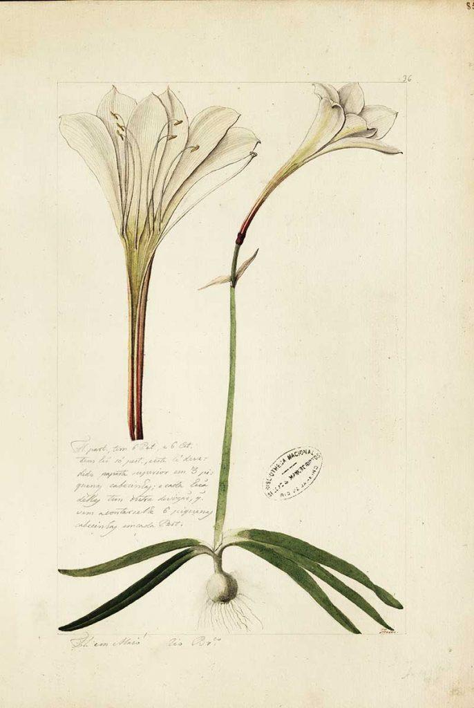 White Amaryllis Christmas Flower