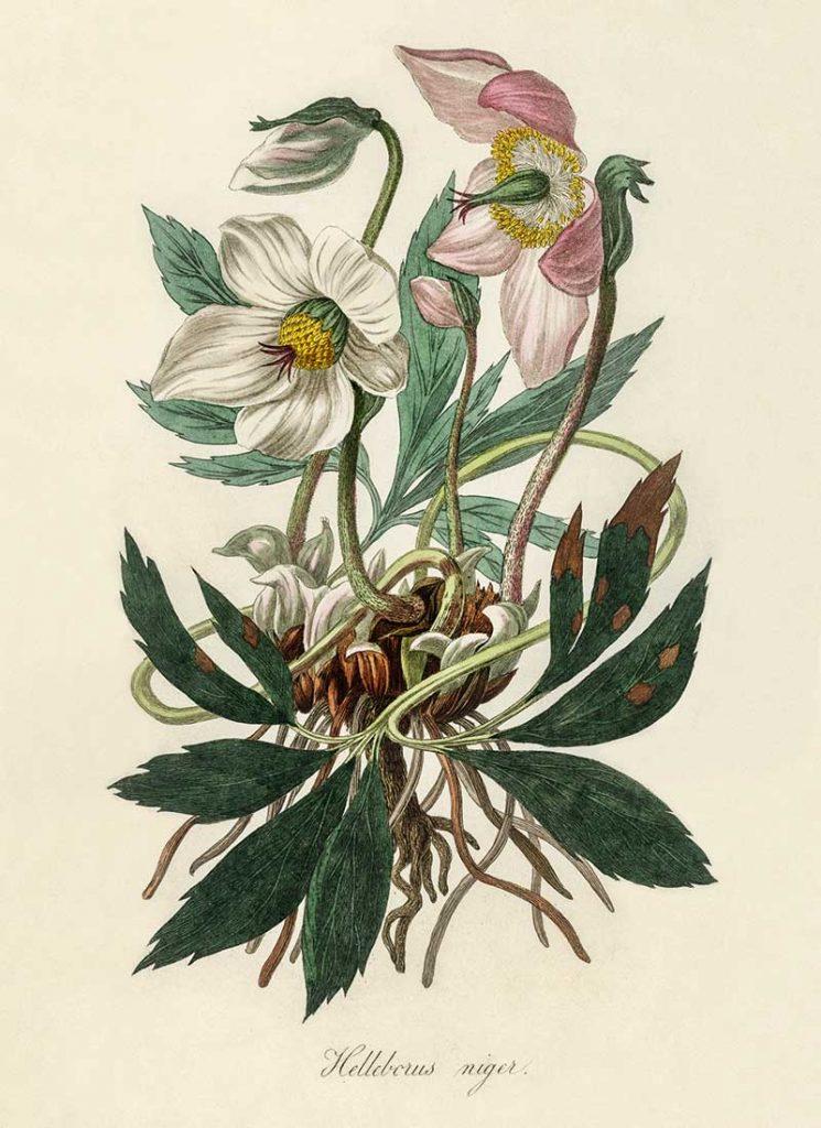 Christmas rose (Helleborus niger) illustration