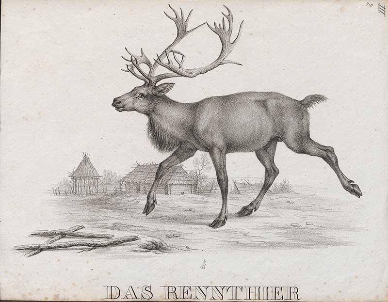 pencil drawing reindeer