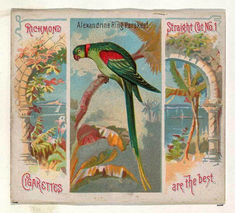 Tropical bird illustration Alexandrine ring parakeet