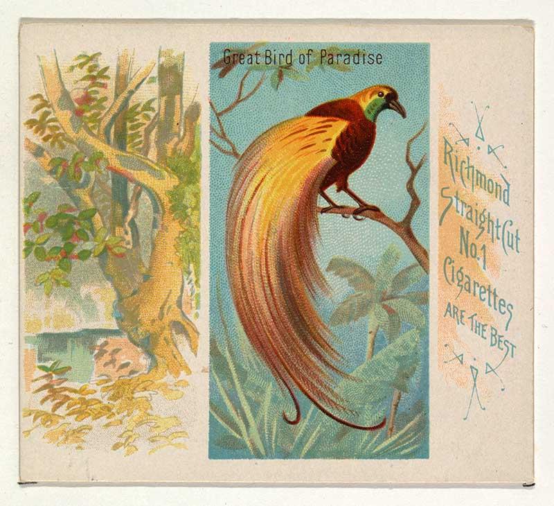 cigarette card birds of the tropics Great bird of paradise