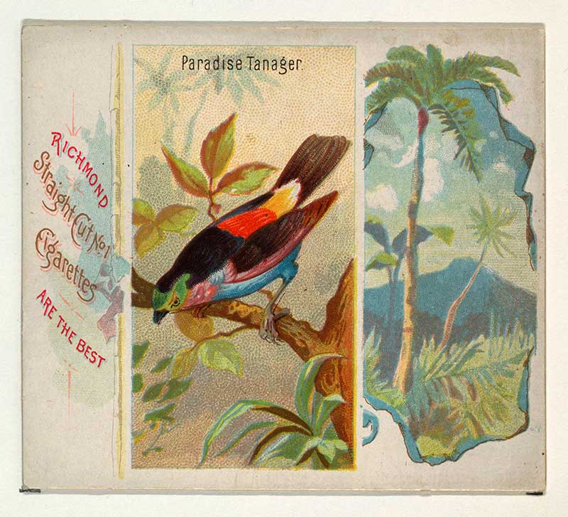 Paradise Tanager, from Birds of the Tropics series (N38) for Allen & Ginter Cigarettes